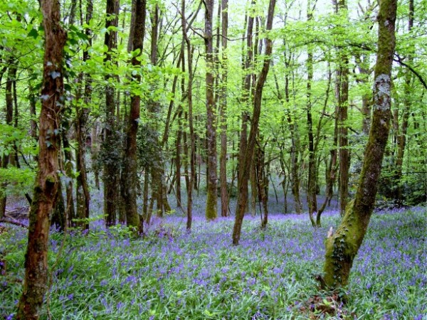 bluebells-in-woods