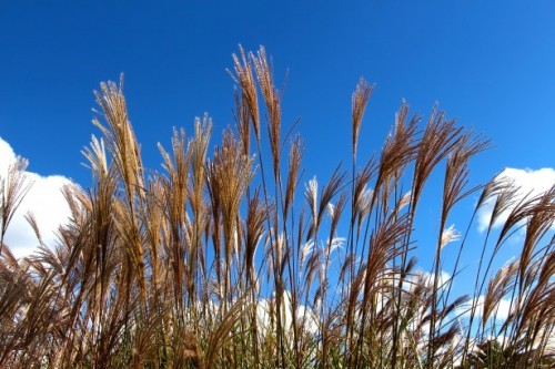 grasses-and-blue-sky