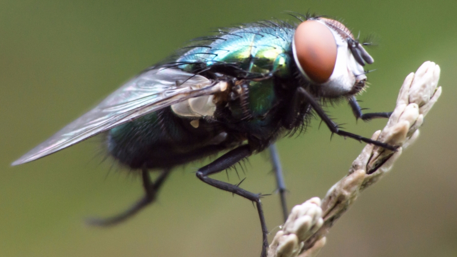 On the Wings of a Fly